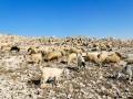 sheep of Tekoa